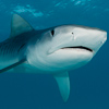 Image F_1539 Tiger Shark