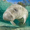 Image MM_1380 West Indian Manatee