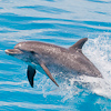 Image MM_1611 jumping spotted dolphin